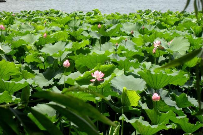 fiori di loto a Hangzhou