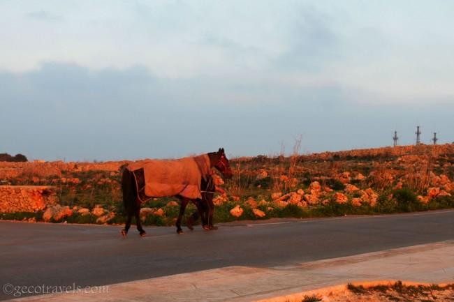 cavallo a Dingli cliff