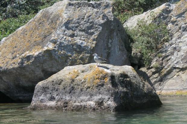 birdwatching al lago di Bolsena
