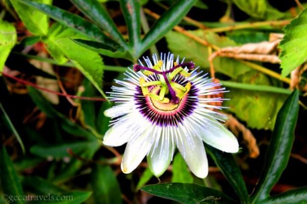 passiflora durante garden therapy