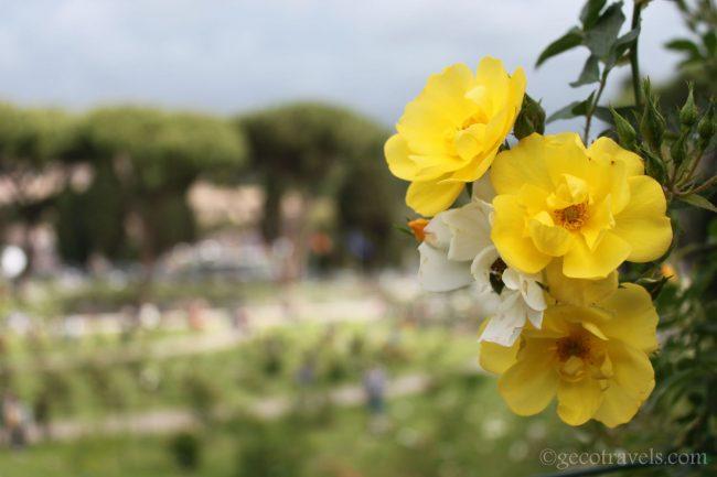 rose del roseto di Roma