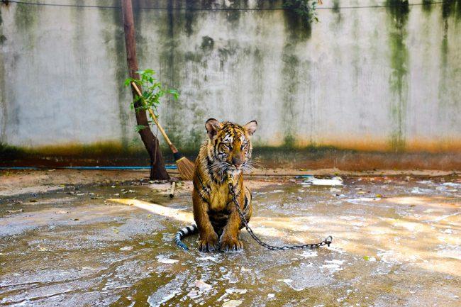 tigre legata a una catena