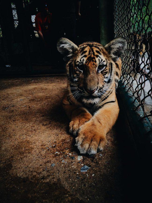 tigre chiusa in gabbia