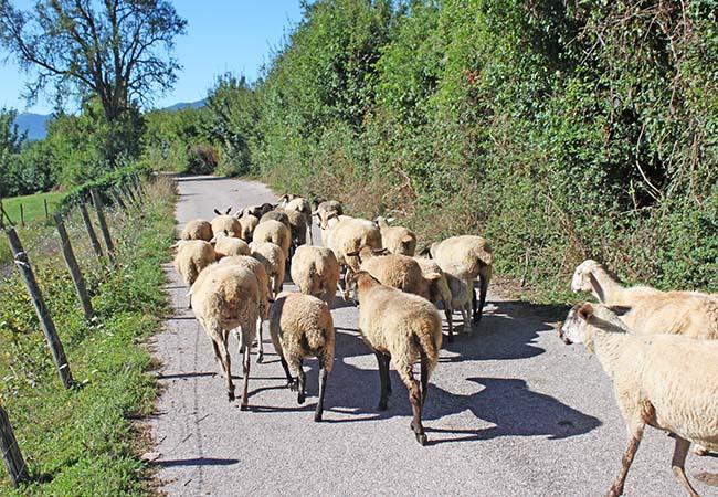 gregge di pecore su strada