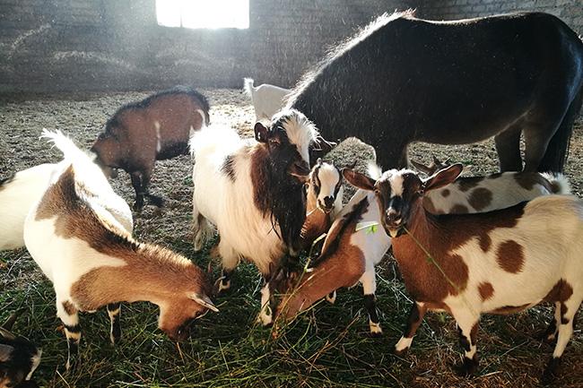 caprette azienda agricola Pietra Serena